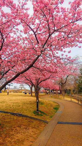 0701河津桜.jpg